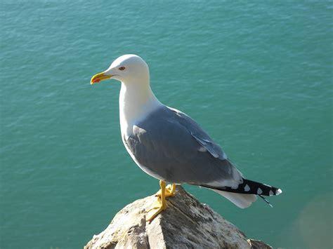 seagull sea bird gull