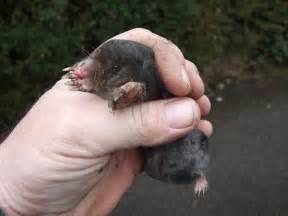 Image Gallery moles animals