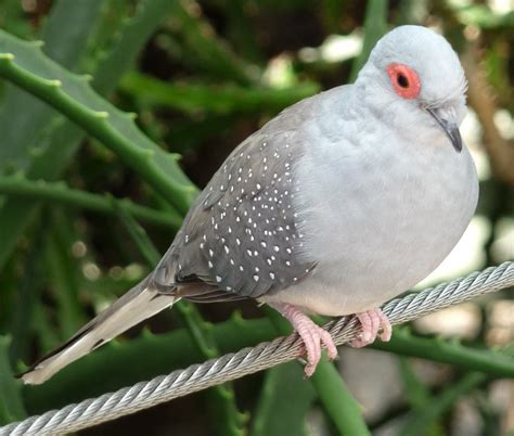 Diamond Dove Facts, Pet Care, Temperament, Feeding