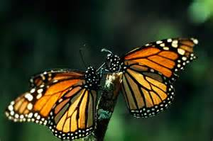 Monarch Butterflies National Geographic Magazine