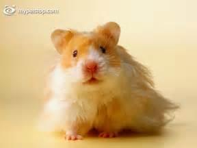 bichos de estimação: Hamster de estimação
