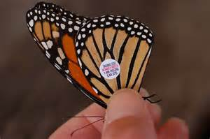 File:Monarch Butterfly Danaus plexippus Tagged Closeup