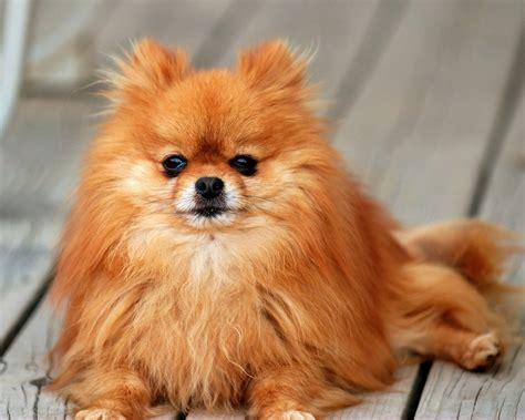 Pomeranian All Small Dogs Wallpaper (18774613) Fanpop