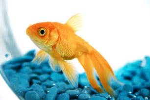 Pet goldfish may get banned in San Francisco A Pets