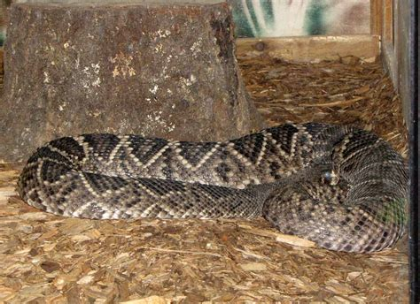 Largest Diamondback Rattlesnake Eastern Diamondback