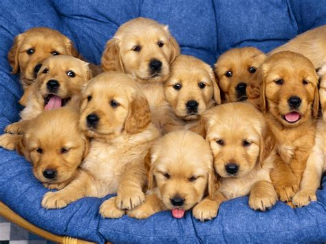 Wallpapers and pictures of cute puppies Nice Wallpapers