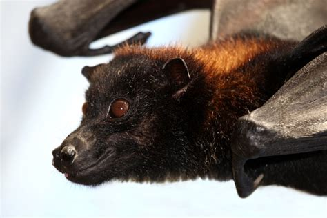 Espécie de morcego chamada de 'raposa voadora' é estudada