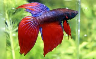 Siamese Fighting Fish Burke's Backyard