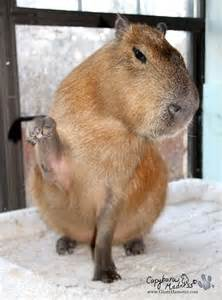 Exotic Pets: Capybaras ('Giant Hamsters') Aren't for Everyone Babble