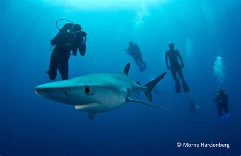 Scuba dive with mako and blue sharks Scuba Dive Courses