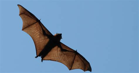 Flying Fox Policy