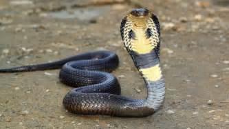 King cobra snake wallpaper 1920x1080 614640 WallpaperUP