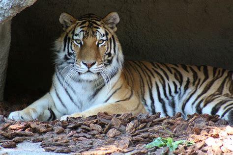 Tiger Detroit Zoo