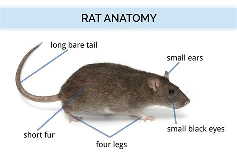 All About Rats Types of Rats, Loctaions, and History