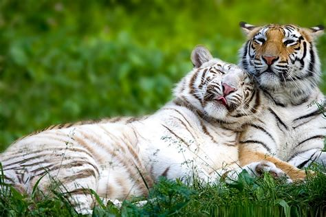 Bengal Tiger Facts, Pictures, Habitat, Information, Diet