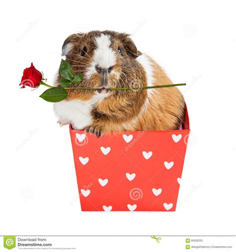 Guinea Pig In Heart Box Holding Rose Stock Photo Image