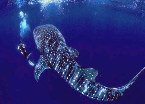 Swimming with whale sharks in Seychelles Travel the World