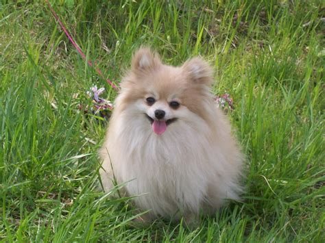 Dog Breed Directory: Pomeranian Dog Breed