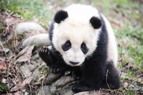 Panda preserves providing habitat for other endangered