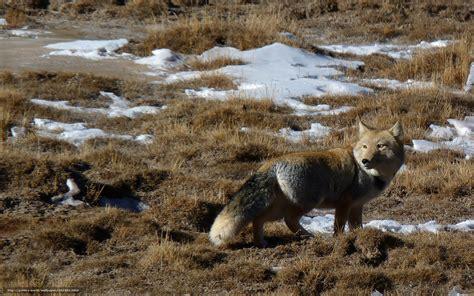 Download wallpaper Tibetan fox, Fox, animals free desktop
