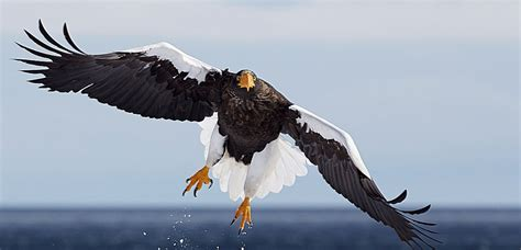 List of Eagle Species BirdLife