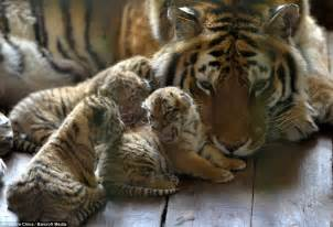 Chinese zoo debut rare tiger cubs with beautiful images