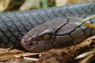 The King Cobra Snake Interesting Information & Pictures Animals