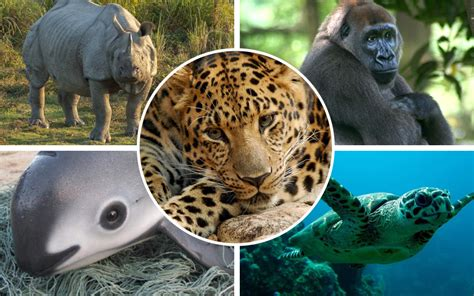 Video: Five of the world's most endangered animals Telegraph