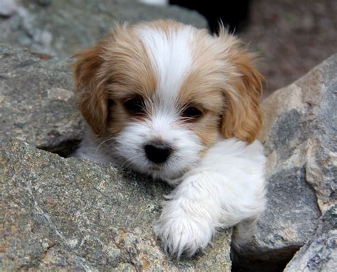 Cavachon (Bichon King Charles mix) Info, Temperament