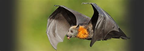 Bats dreams meaning Interpretation and Meaning