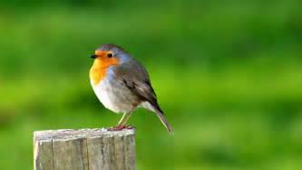 Robin Bird HD Desktop Wallpaper HD Desktop Wallpaper