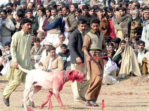 Dog fighting in Pakistan Occupy for Animals!
