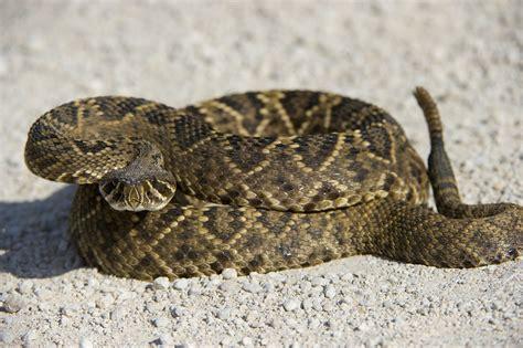 Eastern Diamondback Rattlesnake svg, Download Eastern