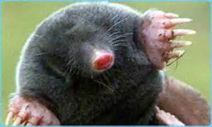 Common Mole Animal Images & Pictures Becuo