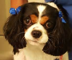the Cavalier King Charles Spaniel has a blue ribbon above each ear