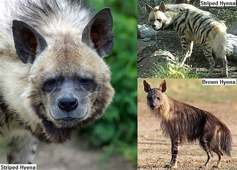 Hyena Facts Animal Facts Encyclopedia
