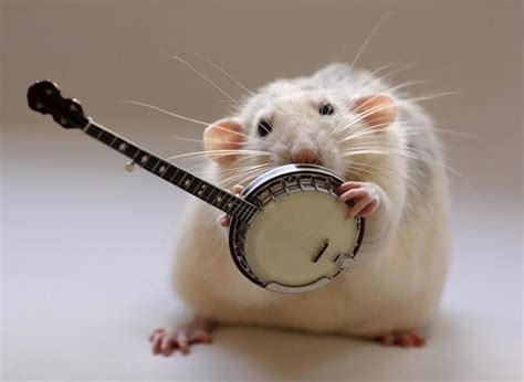 Funny Rats Pets Cute and Docile