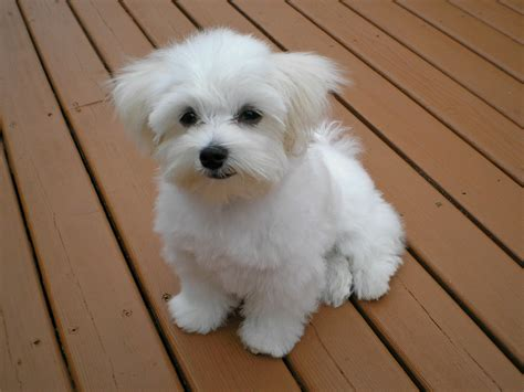 White Maltese Poodle wwwpixsharkcom Images Galleries