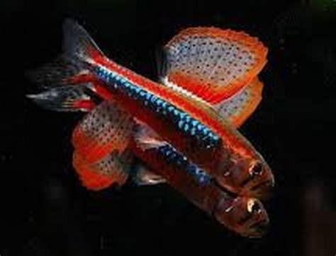Weitzman Tetra (Poecilocharax weitzmani) Tropical Fish