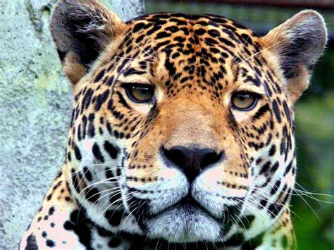Jaguar Desktop and Mobile Wallpaper Animals Town