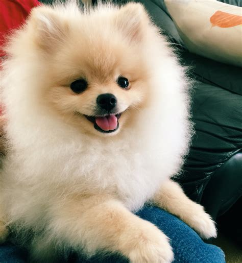 Super happy pomeranian puppy! Mochipomeranian