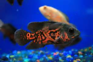 freshwater fish as pets Freshwater Fish For Pets