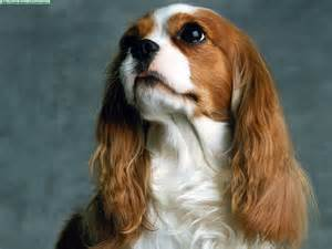 King Charles Spaniel Related Keywords & Suggestions Cavalier King