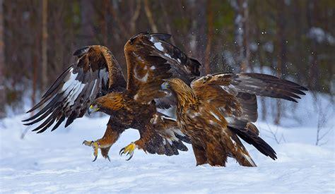 Golden Eagle Aquila chrysaetos Skelleftea Sweden