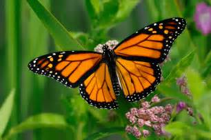 Monarchs want YOU to plant milkweed: Butterfly friendly