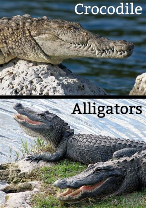 What's the difference between crocodiles & alligators? Myria