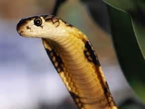 Snakes: King Cobra