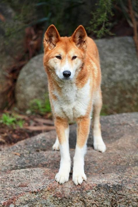 What is a pariah dog? Pariah dogs: 9 ancient and wild