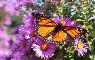 Monarch Butterfly ©Kim Smith 2012 1