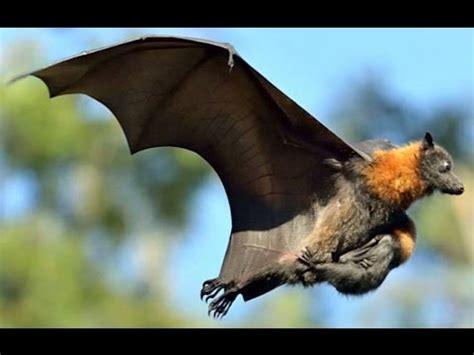 Grey headed flying foxes YouTube